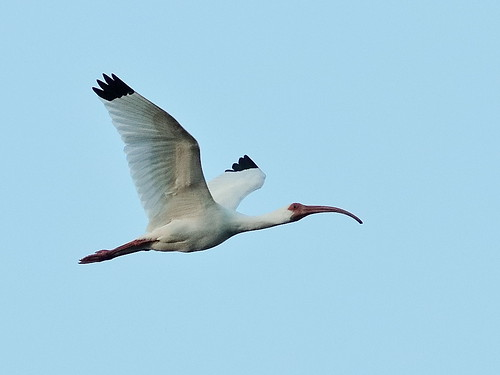 White Ibis before sunrise 02-20190215