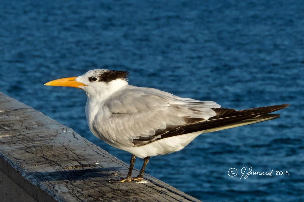 Royal Tern Juvenile (Sterna maxima) On Deerfield Beach Pier