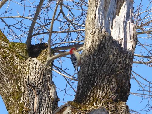 Red-bellied woodpecker   by Lorianne DiSabato