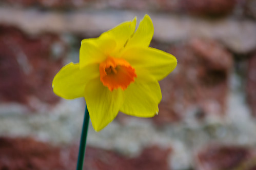 Lone narcissus, Aldersley Junction