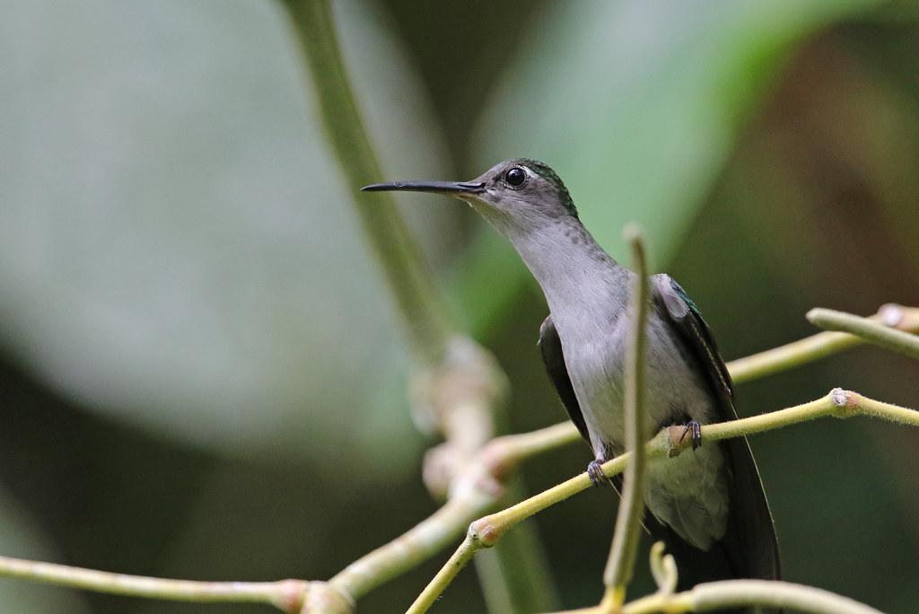 Gray-breasted Sabrewing, Aconabikh, Tarapoto, Peru October 2018