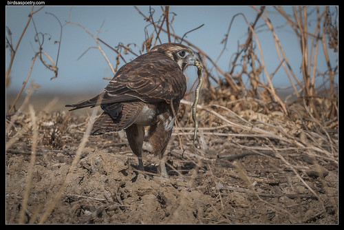 Brown Falcon: Making it Look Easy | by birdsaspoetry