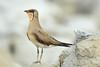 Oriental Pratincole in breeding plumage by Krisnendu Sar