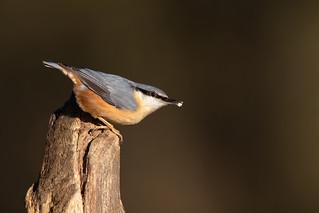 European Nuthatch (Sitta europaea) | by Wildlife Photography by Matt Latham