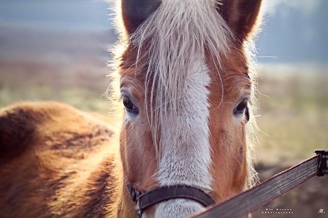 Het paard (Equus ferus caballus)