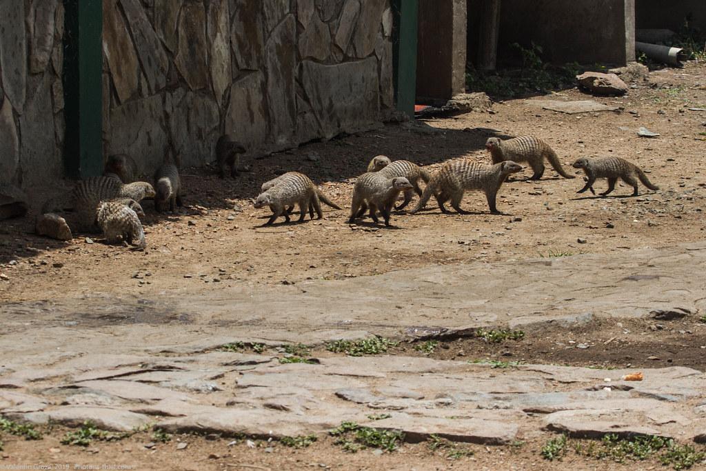 manguste Serengeti sep18_01_med