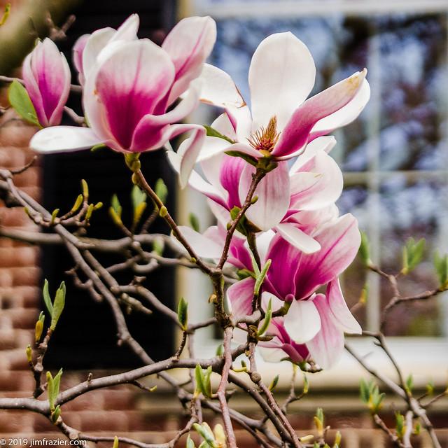 Magnolia and Mansion