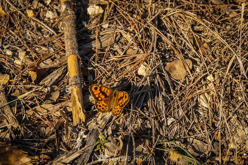 Mariposa saltacercas en Viladellops
