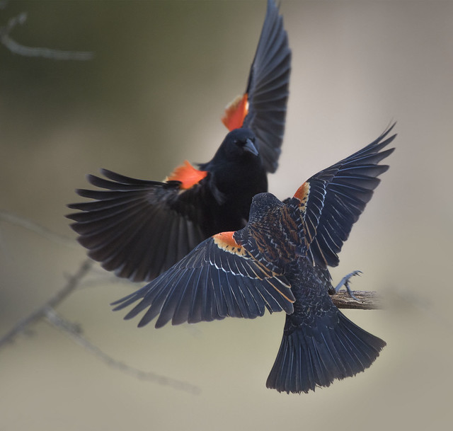 Red-winged Blackbirds (males)
