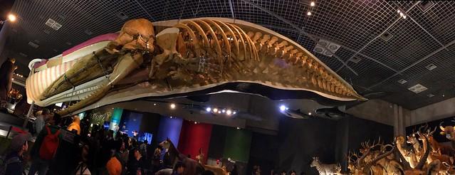 マツコウクジラ