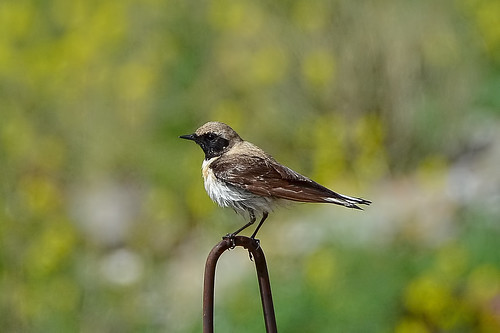 Испанская каменка, Oenanthe hispanica melanoleuca, Eastern Black-eared Wheateater | by Oleg Nomad