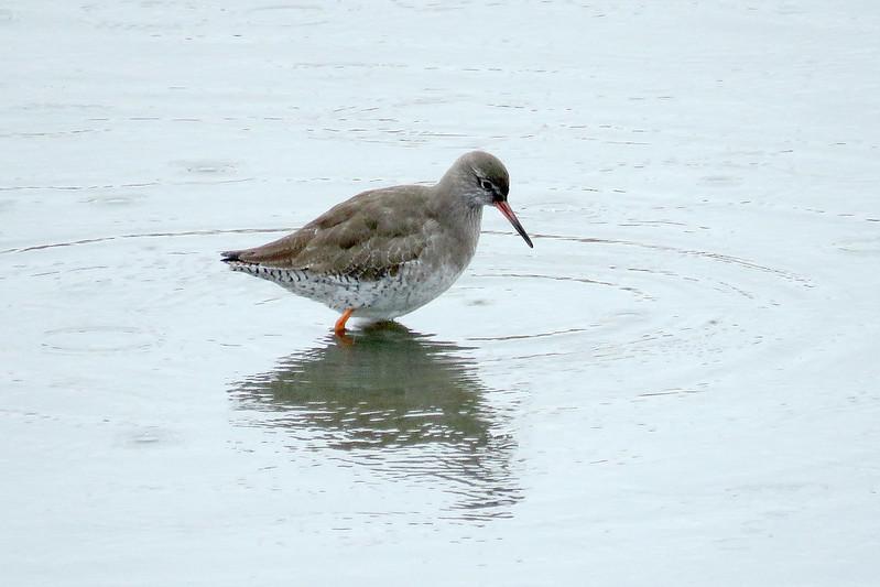 Redshank - Tringa totanus