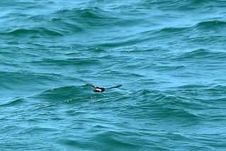 Качурка Вильсона, Oceanites oceanicus chilensis, Wilson's Storm-Petrel | by Oleg Nomad