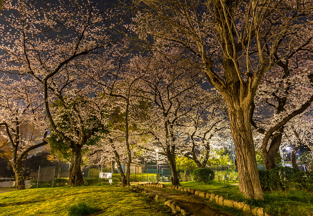 Blossoms and path