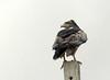 Águila Paramuna, Black-chested Buzzard-eagle (Geranoaetus melanoleucus) by Francisco Piedrahita
