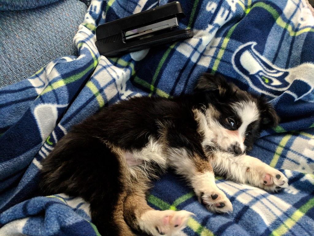 Miniaussie Puppy Size Comparison Stapler Miniature Austr