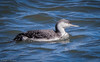 Red-throated Loon (Gavia stellata) - Barnegat Inlet, New Jersey by JFPescatore