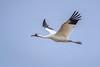 Whooping crane (Grus americana) in flight above the Platte River, Nebraska by diana_robinson
