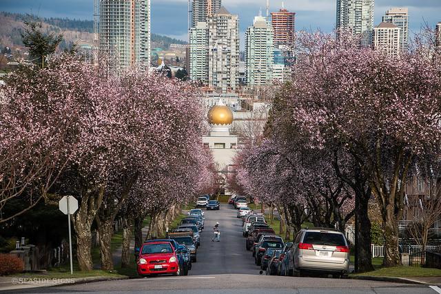 Seeking Sakura 🌸🌸🌸🌸 Vancouver, BC