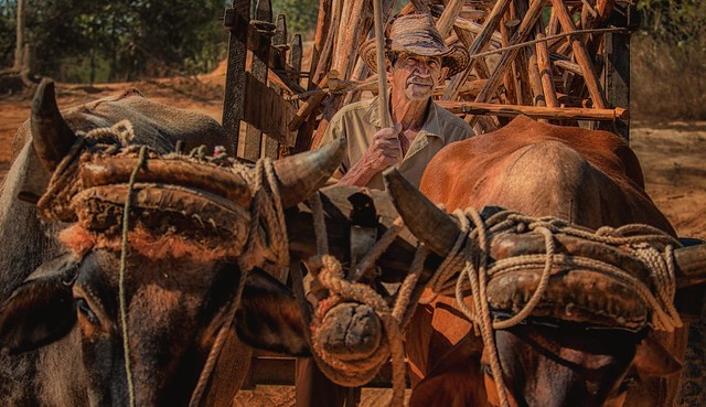 A tobacco grower