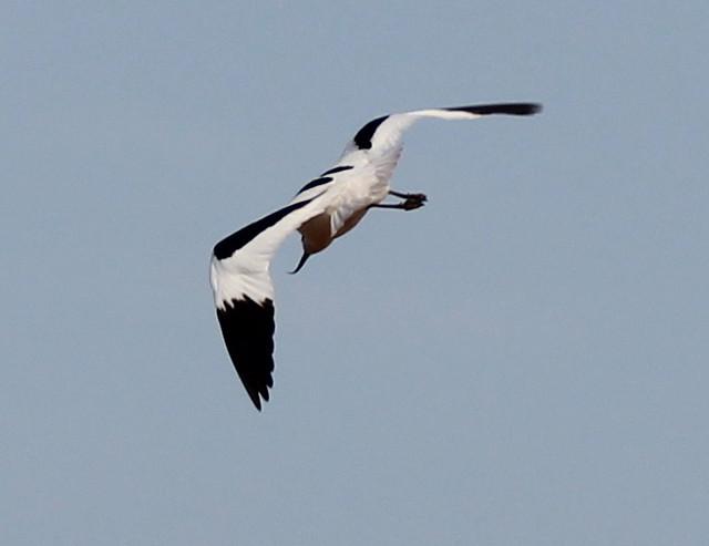 Avacet(Recurvirostra avosetta)
