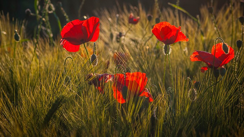 Обои поле, цветы, природа, мак, рожь, маки, красные, злаки картинки на рабочий стол, раздел цветы - скачать