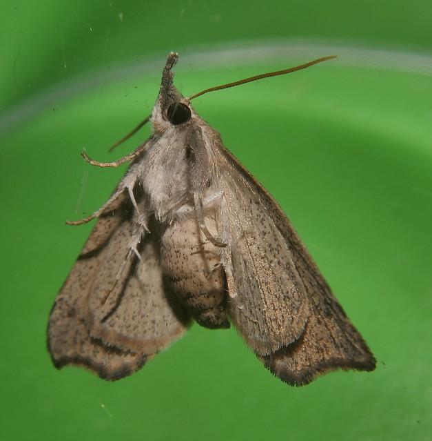 Speckled snout moth Mecistoptera sp  Erebidae Mandalay rainforest Airlie Beach P1490864