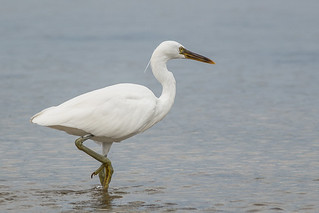 Eastern Reef Egret | by steve happ