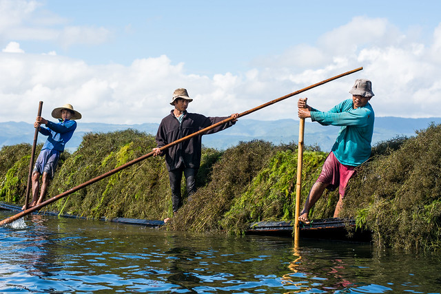 Farmers collecting seaweed as fertilizer on Lake Inle