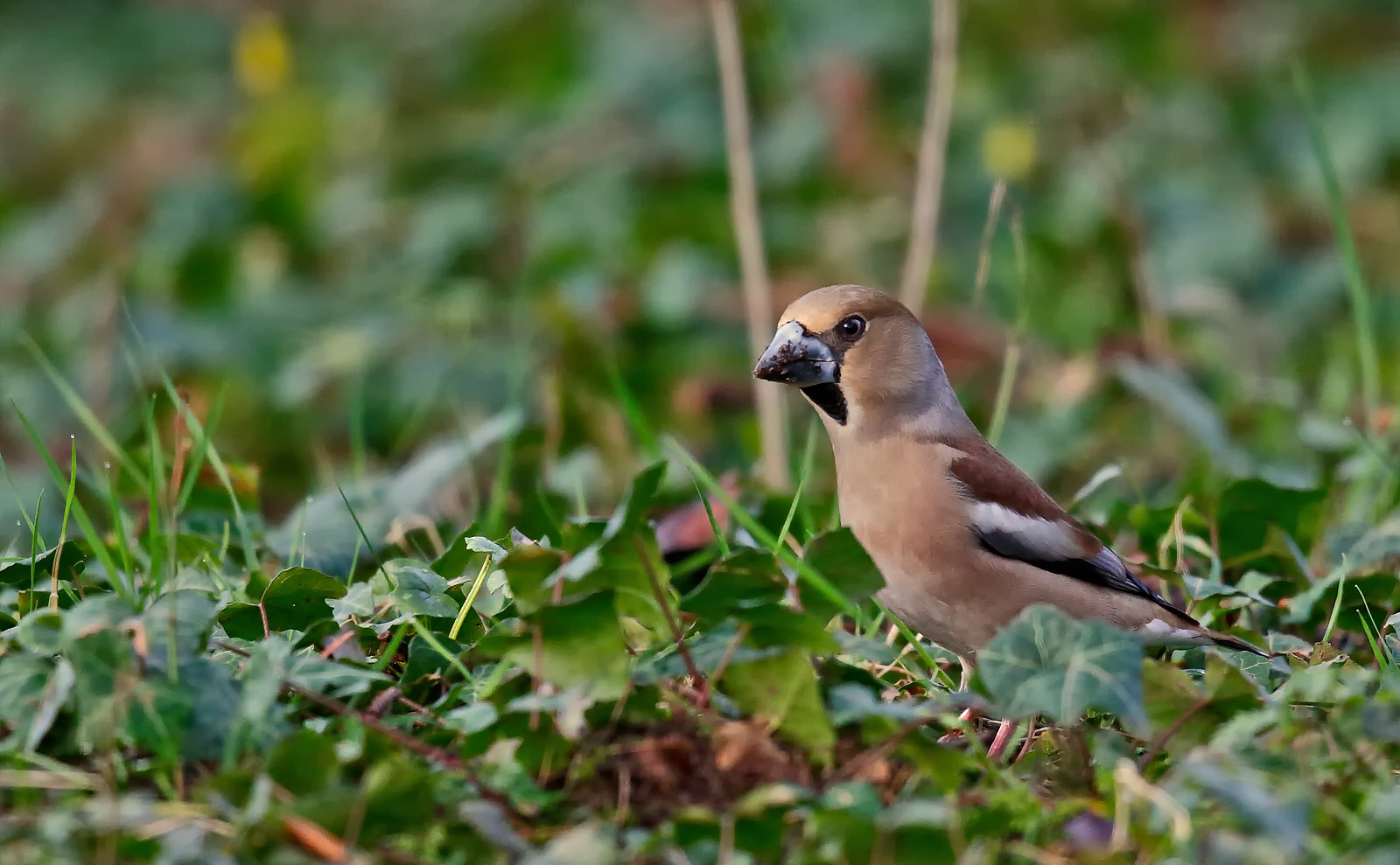 Hawfinch - female