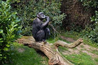 Western Chimpanzee (Pan troglodytes verus) | by Seventh Heaven Photography