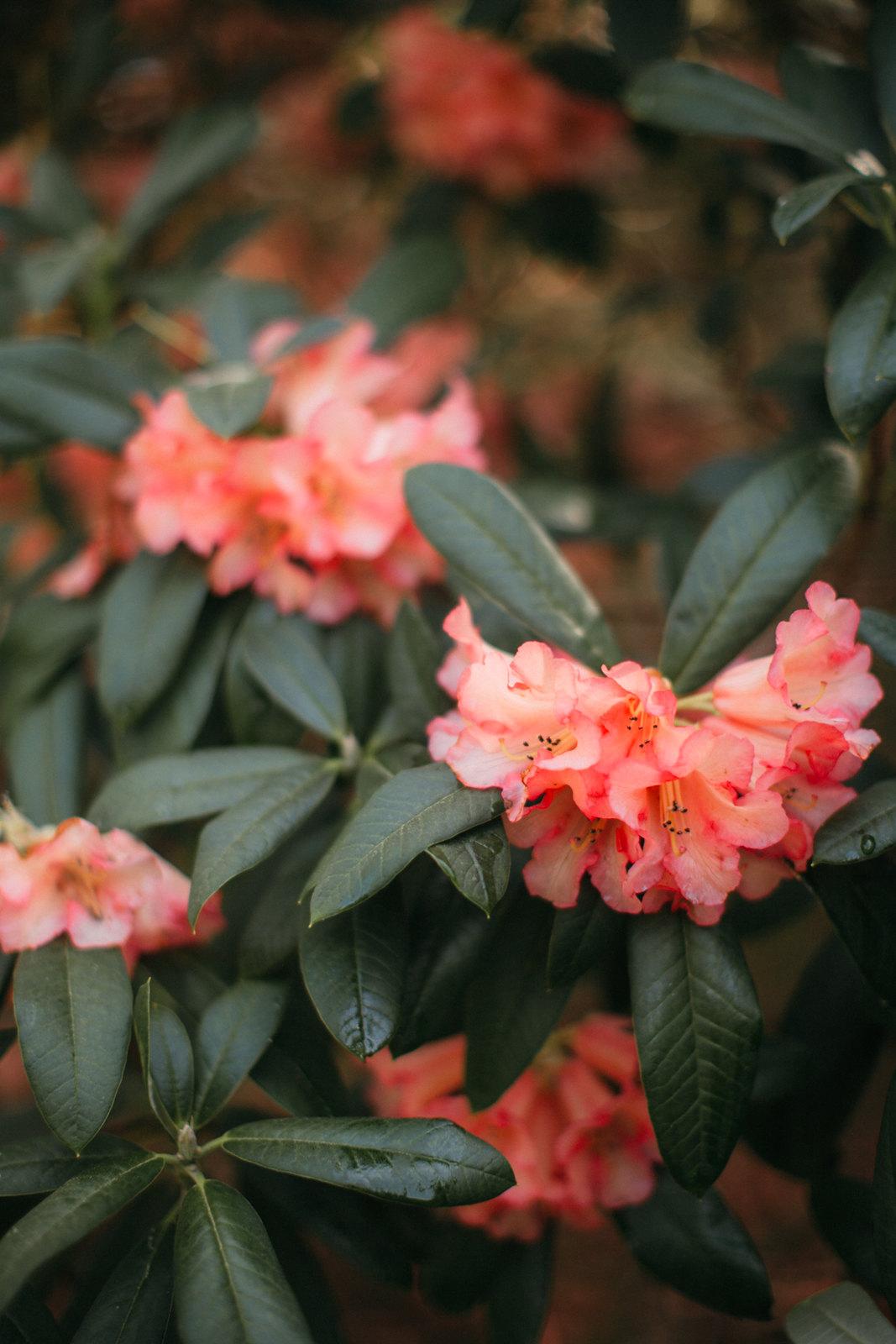 pink rhodo-28