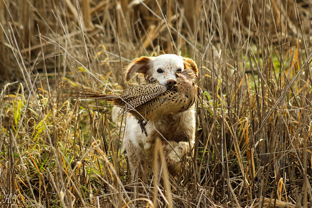 To hunt pheasant with my faithful friend ...