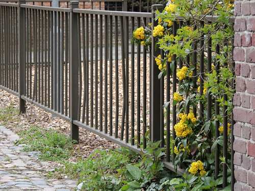 Yellow flowered fence. EXPLORED!
