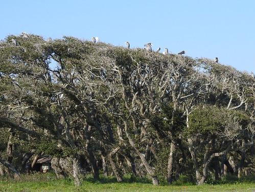 texas birds rookery rockport pamhawkes trees greatblueheron