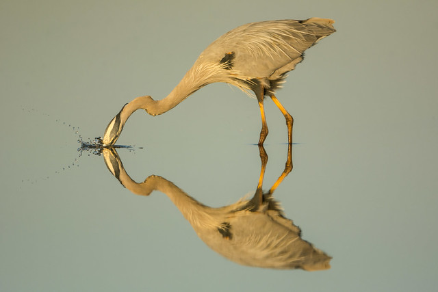 Big bird....little splash