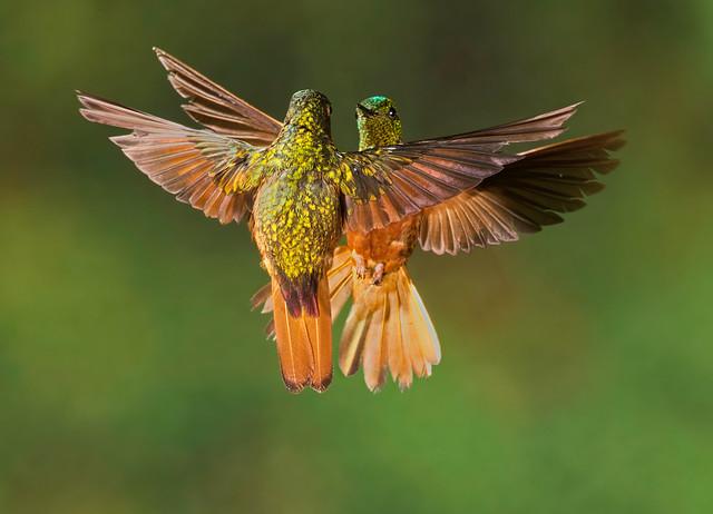 Chestnut-breasted Coronet - Colibri de Matthews