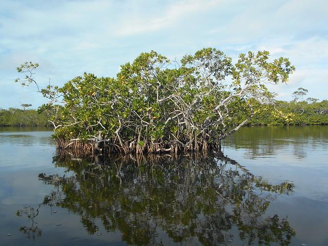 Tuesday PM Kayaking Key Largo Mangroves Sept 29