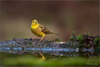 Yellowhammer - Explored #64 | by Gertj123