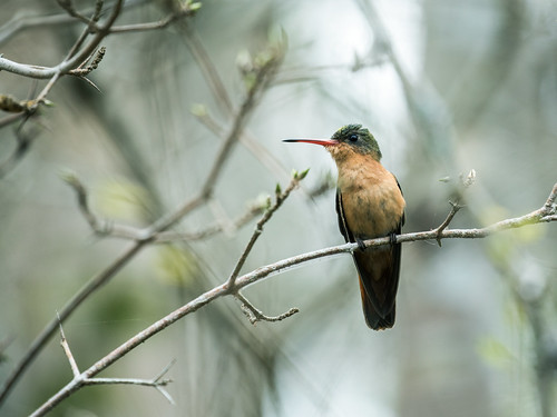 Cinnamon Hummingbird | by nickathanas