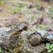 Červenka obecná (Erithacus rubecula)