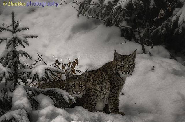 Lynx Cubs