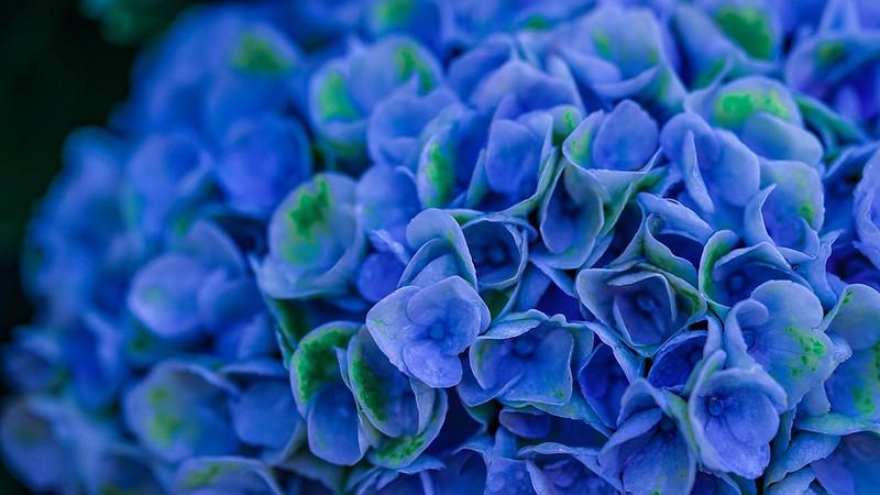 Обои цветы, синий, Гортензия картинки на рабочий стол, раздел цветы - скачать