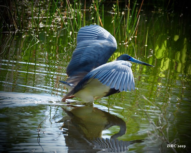Blue Heron at the marsh