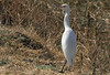 Cattle Egret, Eastern Cattle Egret (Bubulcus ibis) (Bubulcus ibis coromandus) (Bubulcus coromandus) by Francisco Piedrahita