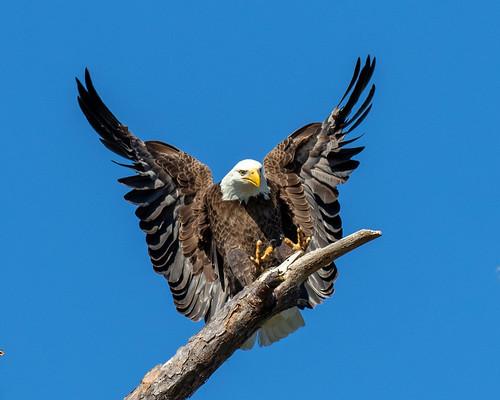 outdoor sky nature wildlife 7dm2 raptor eagle ef100400mm canon florida bird