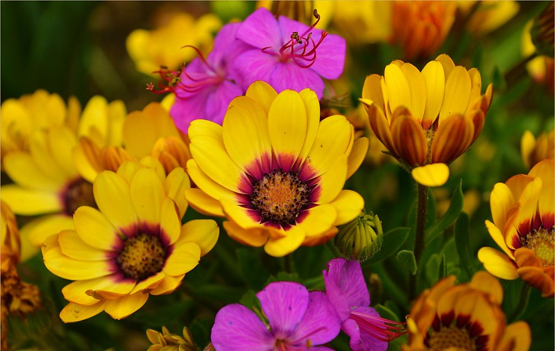 Обои Весна, Цветочки, Flowers, Spring, Colors, Остеоспермум картинки на рабочий стол, раздел цветы - скачать