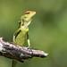Common Garden Lizard - Calotes versicolo by Roger Wasley