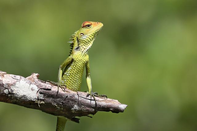 Common Garden Lizard - Calotes versicolo