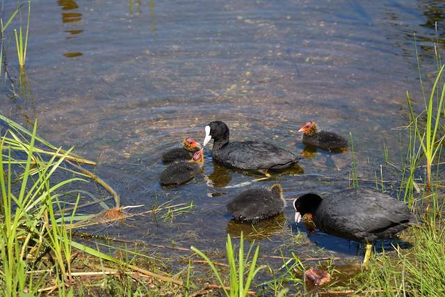 Trakai / Eurasian coot  (Fulica atra)